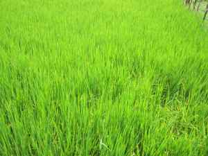 Field of young rice