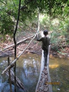 Z crossing a tree bridge, Virachey National Park, Cambodia
