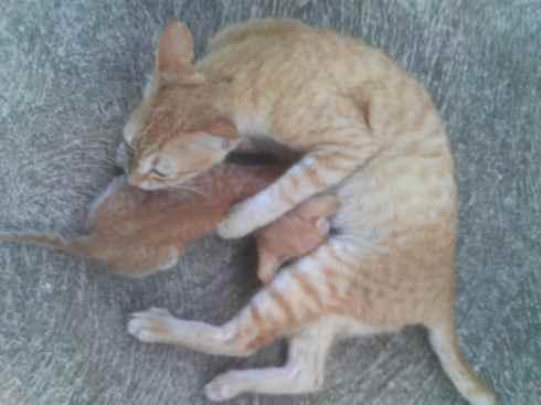 Kitten feeding, Palawan, Philippines