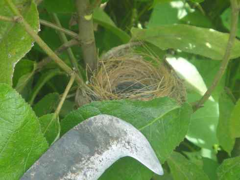 The hooked end of a native knife exposes baby birds snuggled in their grassy nest. Nam Ha protected area, Luang Namtha, Laos.