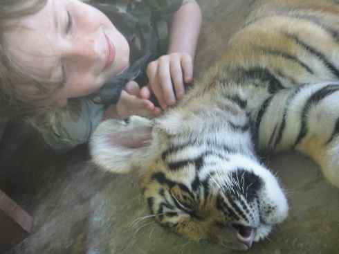 Z petting sleeping baby tiger, Tiger Kingdom, Chiang Mai, Thailand.
