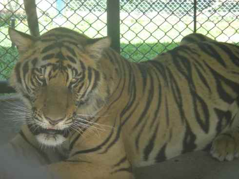 Caged tiger, Tiger Kingdom, Chiang Mai, Thailand