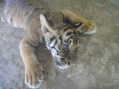 Doped tiger cub flat on the floor like roadkill.