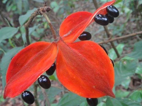 Scarlet three-petalled flower with large black seeds suspended below. Nam Ha forest, Luang Namtha, Laos.