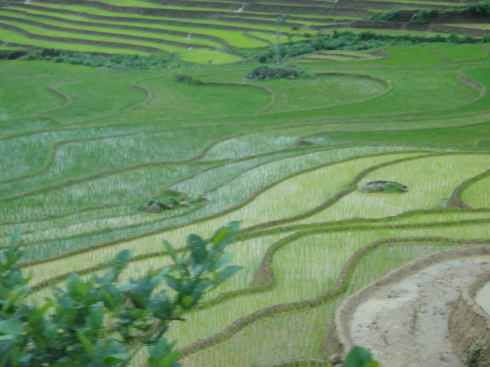 Paddy terraces with ploughed fields at top, and progressively older seedlings moving downwards.