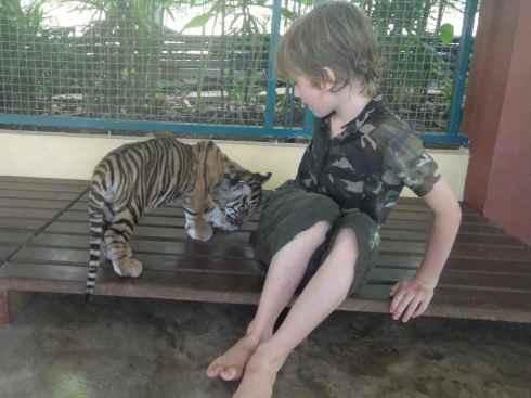 Tiger cub butting Z's leg. Tiger Kingdom. Chiang Mai. Thailand.