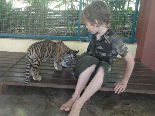 Tiger cub butting Z's leg. Tiger Kingdom. Chiang Mai. Thailand.