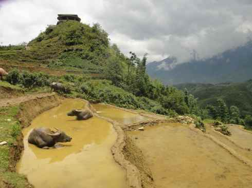 Water buffalo lazing in flooded rice terrace, Sapa, Vietnam.