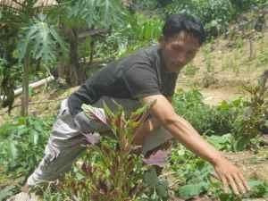 Hmong farmer tending herbs, Nam Ha protected area, Northern Laos.