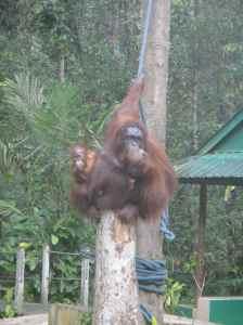 Mother orang utan sitting in tree, with baby peeking out from her back, Semanggoh, Sarawak, Borneo, Malaysia.