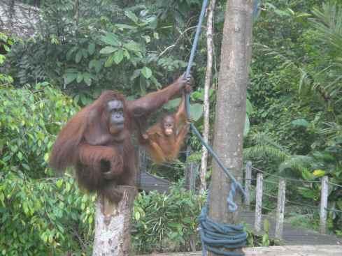 Mother orang utan with baby dangling from her underarm hair: Semanggoh rehabilitation centre, Sarawak, Borneo.