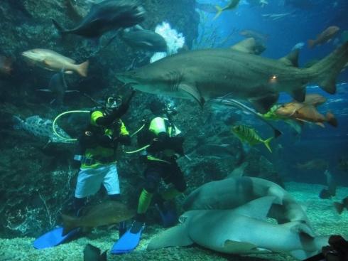 Scuba diver hand-feeding snaggletooth shark at Bangkok Aquarium, Thailand.