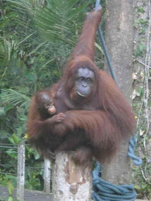 Orangutan mother cradling her one year old child: Semanggoh Orang Utan Rehabilitation Centre, Sarawak, Borneo, Malaysia