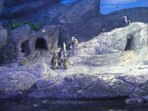 African penguins exploring their rocky home, behind glass at Siam Ocean World Aquarium, Bangkok Aquarium.