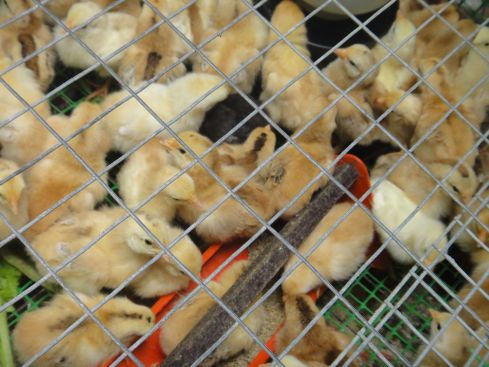 Baby chicks clustered around a scarlet feeding bowl in a cage. Kapit, Sarawak, Borneo, Malaysia.
