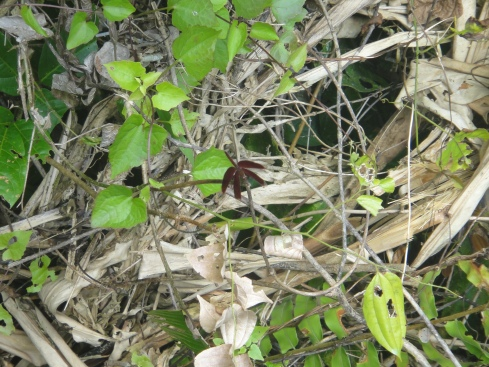 Burgundy coloured butterfly atop a jumble of twigs. Mulu National Park, Sarawak, Borneo.