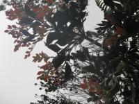 red leaves on evergreen: Kinabalu park.