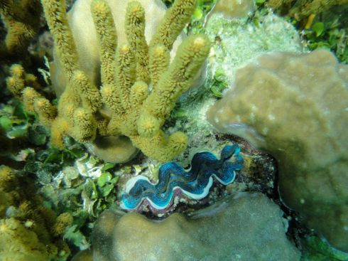 The bright blue frilled lips of a living giant clam protrude from spires of coral. Pulau Derawan, Indonesia.