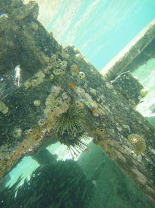 Scarlet lionfish lurks under the dock of Losmen Danakan, Pulau Derawan, Indonesia, with swarm of fish below it.