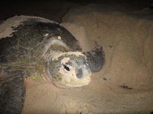 Mother turtle buries eggs in the sand, Pulau Derawan, Indonesia, powering backwards with her front flippers to cover the eggs in sand.
