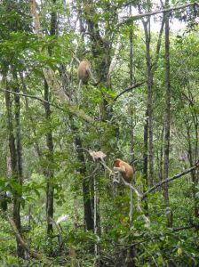 Orange, long nosed proboscis monkeys sit high in the mangroves. Tarakan, Indonesian Borneo.