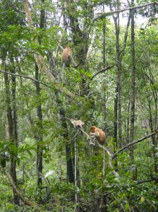 Orange, long nosed proboscis monkeys sit high in the mangroves. Tarakan, Indonesian Borneo.
