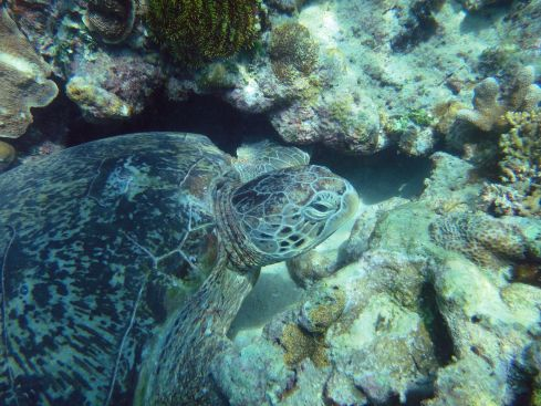 Sea turtle grazing amid coral. Pulau Derawan, Indonesia.