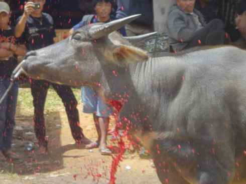 Arterial blood sprays from the throat of rearing buffalo. Tana Toraja, Sulawesi, Indonesia.