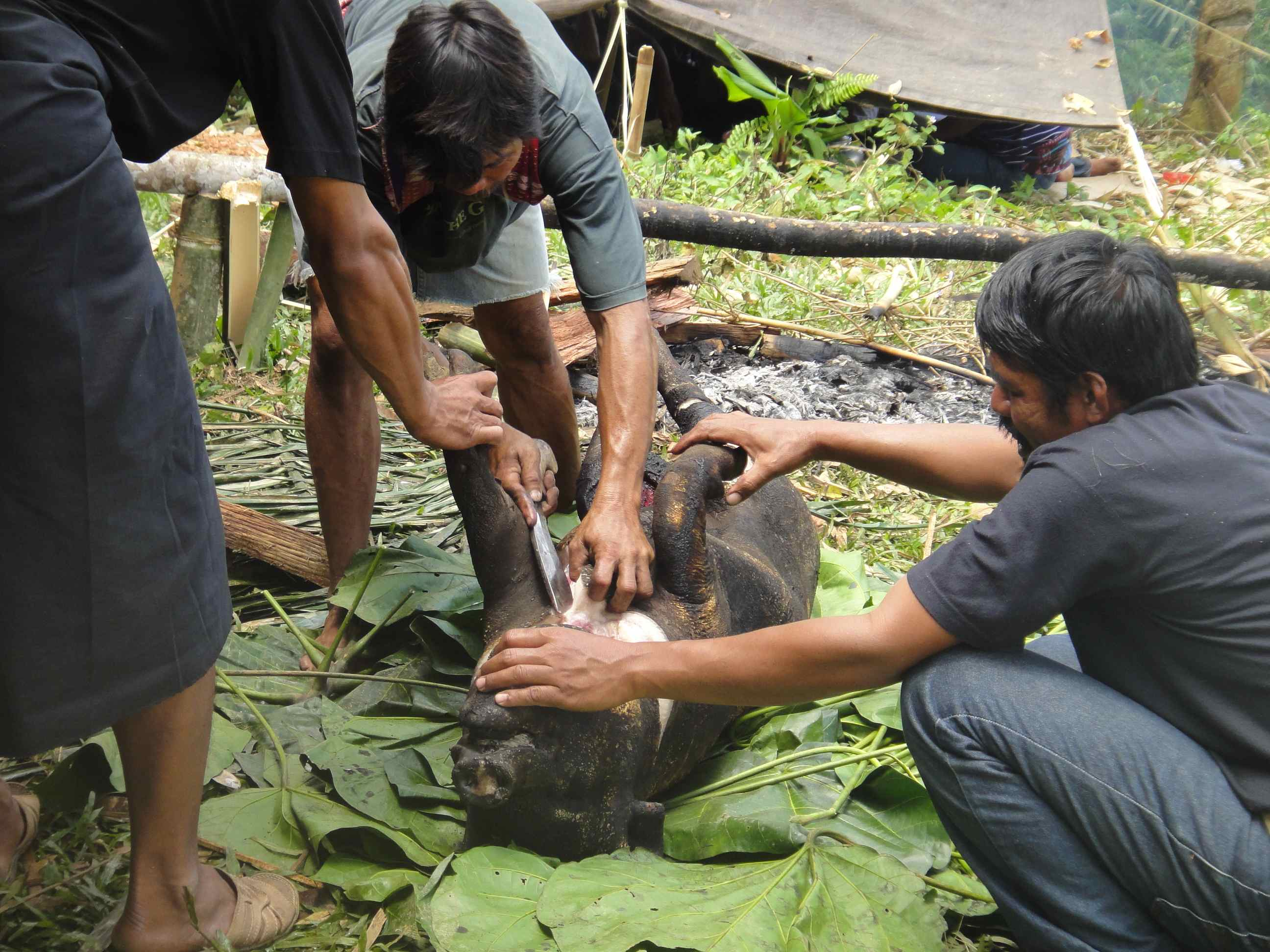 Men butchering a singed pig. Tana Toraja, Sulawesi, Indonesia.