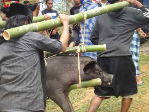 Men carrying pig on bamboo poles: Torajan funeral, Tana Toraja, Sulawesi, Indonesia.