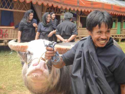 Torajan man leading buffalo by the nose ring. Torajan funeral, Tana Toraja, Sulawesi, Indonesia.