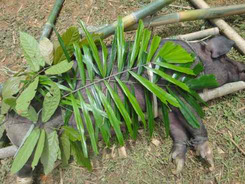 Prize sow shaded with rattan leaves. Tana Toraja, Sulawesi, Indonesia.