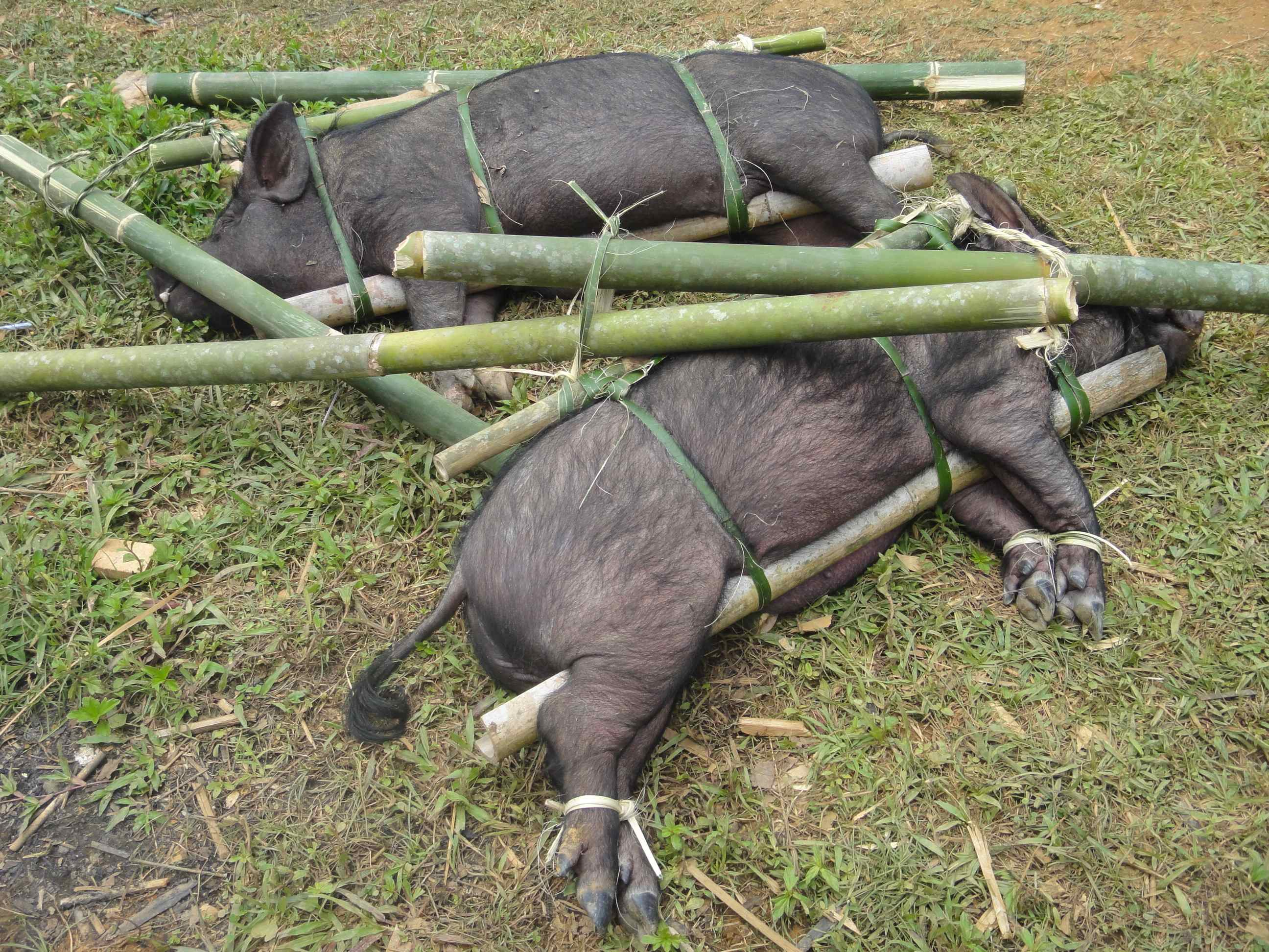 Pigs on bamboo carrying poles dumped on the grass. Torajan funeral, Tana Toraja, Sulawesi, Indonesia.