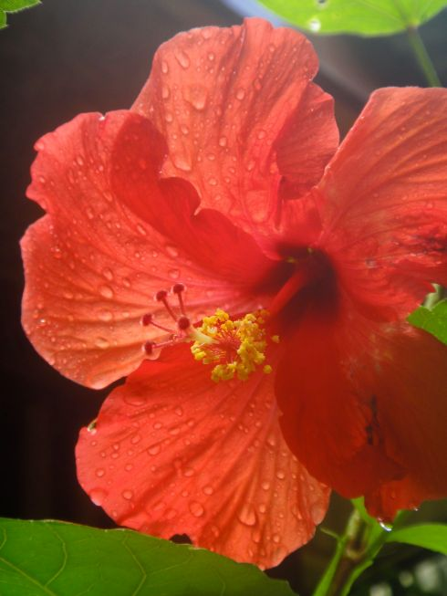scarlet hibiscus covered in dew, pulau kadidiri, indonesia