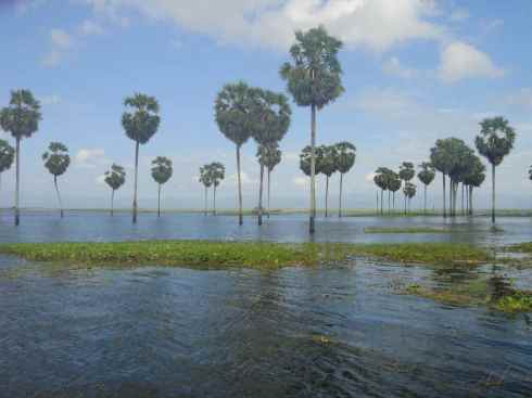 Sugar palms and bright grasses emerge from the flooded shores of Danau Tempe lake, Sulawesi, indonesia.