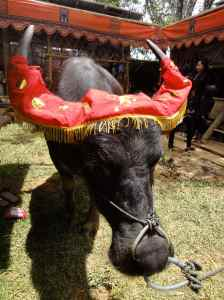 Valuable black buffalo with scarlet head dress over its horns. Tana Toraja, Sulawesi, Indonesia.