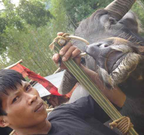 Young mourner holds buffalo by nose ring. Tana Toraja, Sulawesi, Indonesia.
