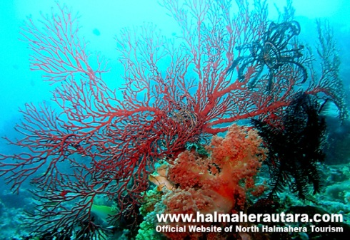 tendrilly fan corals in scarlet and orange off halmahera, indonesia