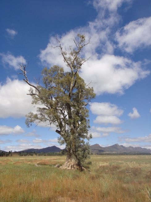 The Cazneaux Gum tree, stands tall against a backdrop of mountains, Wilpena, South Australia.
