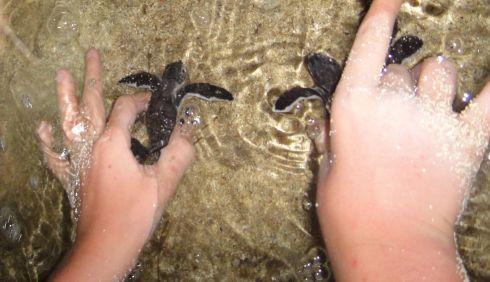 releasing baby turtles into the sea, Pulau Derawan, Indonesia